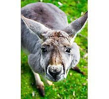 Face Off With A Kangaroo. Photographic Print