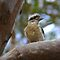 """Kookaburra"" Royal National Park NSW Australia by Toni McPherson"