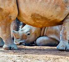 A Baby White Southern Rhino. by Nicholas Griffin