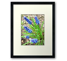 Some beautiful blue flowers of muscari Framed Print