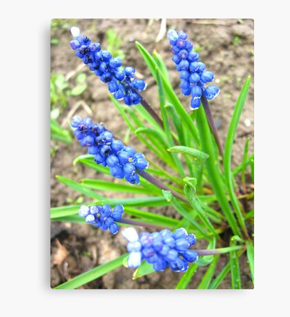 Some beautiful blue flowers of muscari Canvas Print