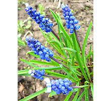Some beautiful blue flowers of muscari Photographic Print