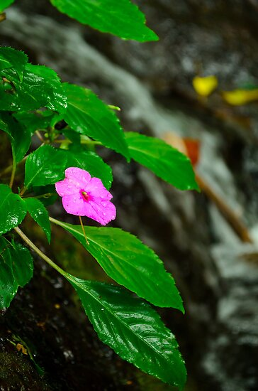The wild Impatient flower by raymona pooler