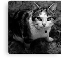 Kittens Gaze Canvas Print
