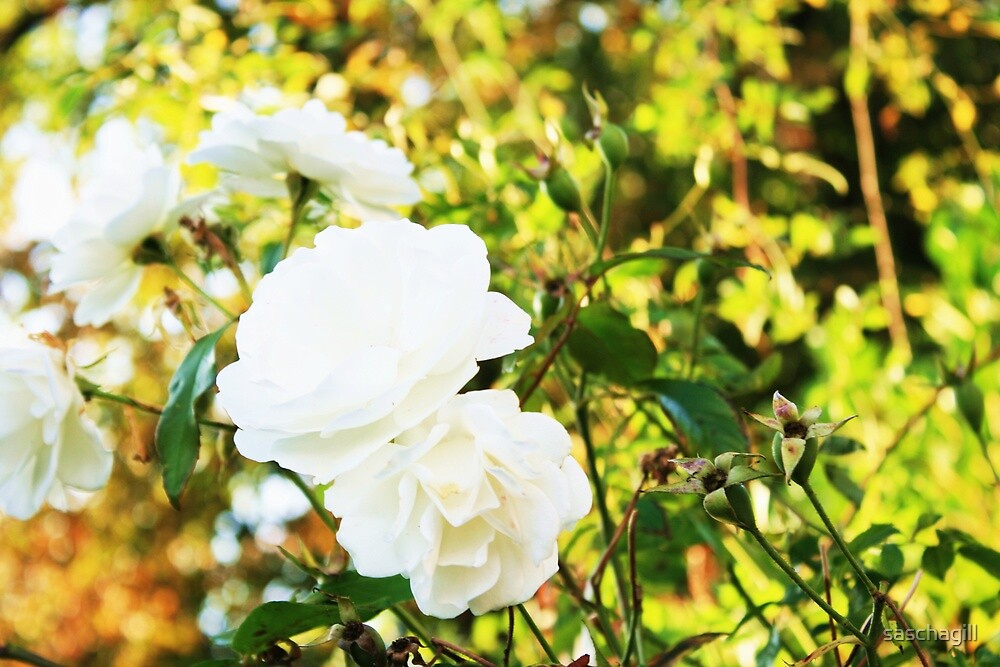 White Roses by saschagill