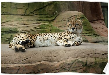 cheetah chilling out by Martynb