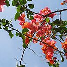 Bougainvillea by Caren