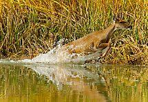 Deer Running Through Salt Water Marsh by imagetj