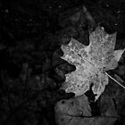 Maple Leaf - Shenandoah National Park, Virginia by Jason Heritage