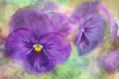 plainly pansy by Teresa Pople