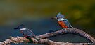 Ringed Kingfishers-Digital Oil by Paul Wolf
