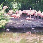 Flamingo! by missycullen