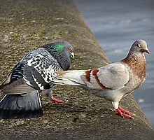 Cooing and Wooing. by Lilian Marshall