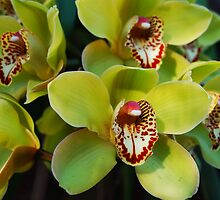Chartreuse Cymbidium by Ron Hannah