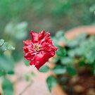 rain drenched red rose by Jessica  Lia