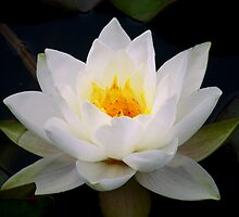 white lily by studenna