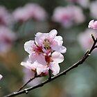 Springtime Peach Blossoms by karineverhart