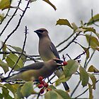 Waxwings by Joe Bledsoe