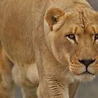 African Lion by PrecisionImages