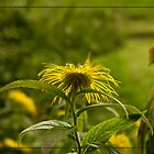 Inula Flowers at Dusk by Liz Alderdice Art