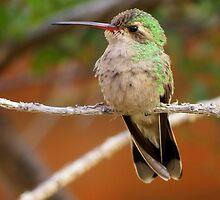 Broad-billed Hummingbird (Female) by Kimberly Chadwick