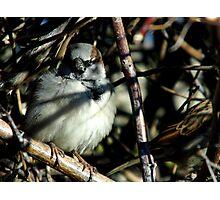 Sparrow Hiding Photographic Print
