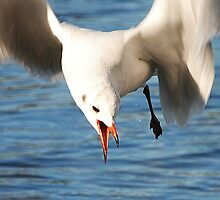 Sea Gull Swooping by Kay1eigh