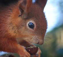 Red Squirrel at Pensthorpe by Kay1eigh