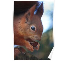 Red Squirrel at Pensthorpe Poster