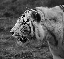White Tiger by Kay1eigh