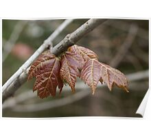 Spring maple Poster