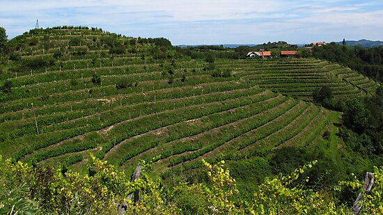 Vineyard by Dalmatinka