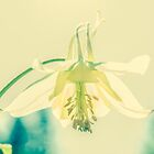 Transparent Columbine by m E Grayson