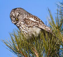 Barred Owl: I Can Barely Keep My Eyes Open by John Williams