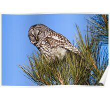 Barred Owl: I Can Barely Keep My Eyes Open Poster
