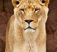 African Lion Dry Brush by PrecisionImages