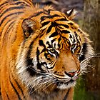 Tiger Portrait by PrecisionImages