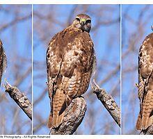 Juvenile Red-Tailed Hawk Profile Shots - 2013 by Dennis Stewart