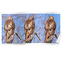 Juvenile Red-Tailed Hawk Profile Shots - 2013 Poster