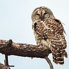 Barred Owl: Broken Bough by John Williams