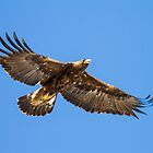 Golden Eagle: Aquila chrysaetos by John Williams