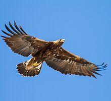 Golden Eagle: Aquila chrysaetos by John Williams