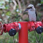 Kookaburra on Red by yolanda
