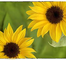 Sunflowers by Natalie Kinnear