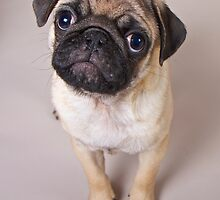Pug Puppy by PrecisionImages
