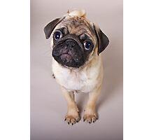 Pug Puppy Photographic Print