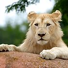 White Lion Cub by PrecisionImages