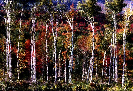 Birch Grove by Wayne King