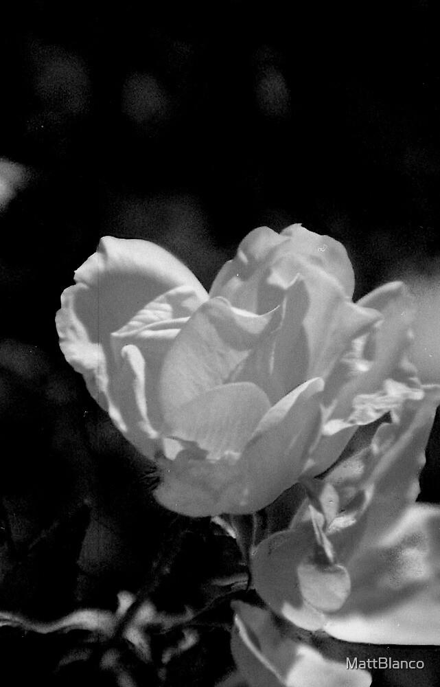Rose by MattBlanco