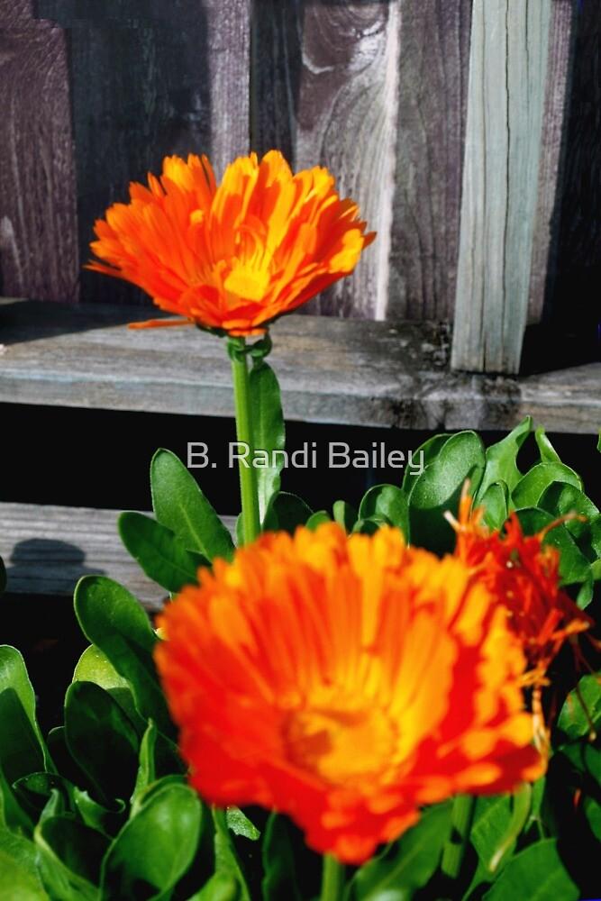 Two orange calendulas by ♥⊱ B. Randi Bailey